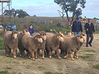 Young Charlie Vandeleur with a few 2016 sale rams at Tintinara.