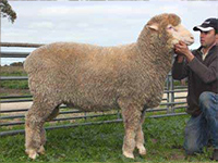 Rices Creek RC902 has bred exceptionally well within the stud weighing over 130kg at 1 year 4 months with outstanding wool qualities.