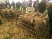 Ram lambs on display
