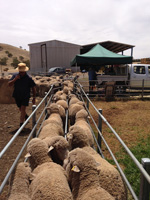 MN#, Ovine Brucellosis free