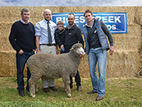 Rices Creek Poll Merino Ram Sale