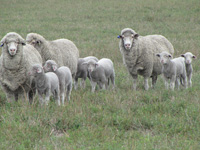 Rices Creek Ewes 2014