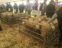Rices Creek Merino Ram Lambs on display